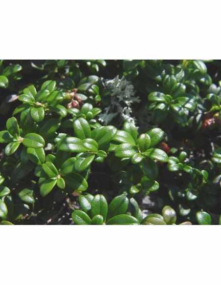 Borówka brusznica - liść EKO 100g