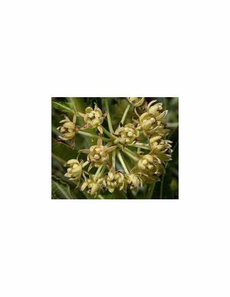 Uzara (Xysmalobium undulatum) korzeń cięty 50g