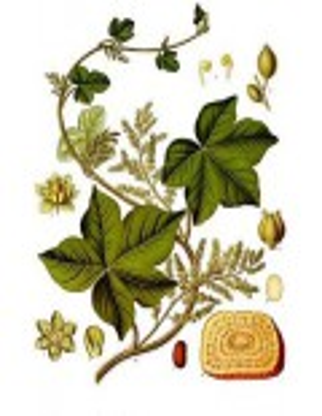 Korzeń Kolombo (Radix Colombo/Jatrorrhiza palmata)