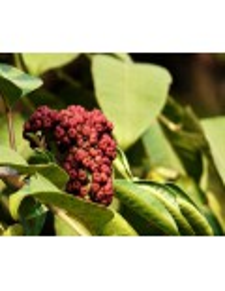 Evodia rutacarpa owoc 50g