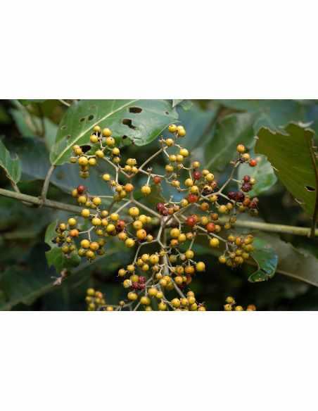 Haronga ( Harungana madagascariensis) kora cięta